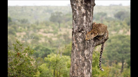 Leopard sighting in South Africa's Kruger National Park