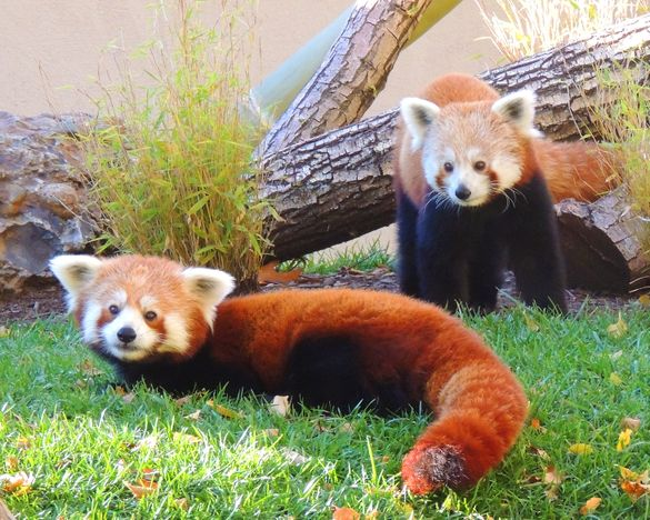 Red pandas are among the many animals visitors can see at the Franklin Park Zoo, the newest addition to the Boston CityPASS ticket.