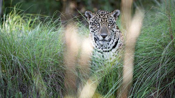 Jaguar at Caiman Ecological Refuge