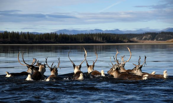 A group of Western Arctic Herd caribou in Kobuk Valley National Park. Photo: NPS/Matt Cameron