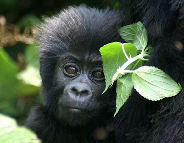 Baby gorilla in Uganda's Bwindi Impenetrable National Park