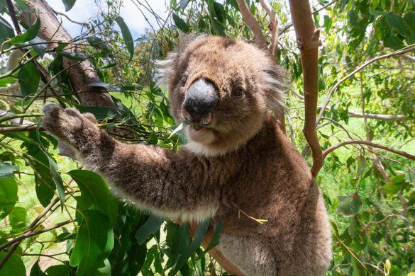 Koala - Wildlife Wonders