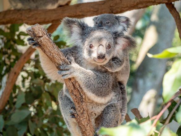 Koala and joey - Lone Pine Koala Sanctuary