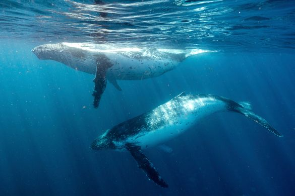 Humpback whales migrating off the south coast of NSW near Jervis Bay.
