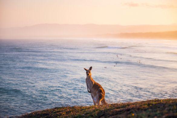 Kangaroo grazing on Look At Me Now Headland, Emerald Beach.