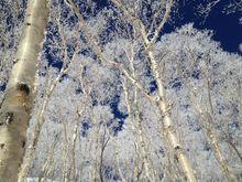 Snow Trees Japan