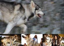 Dire Wolves