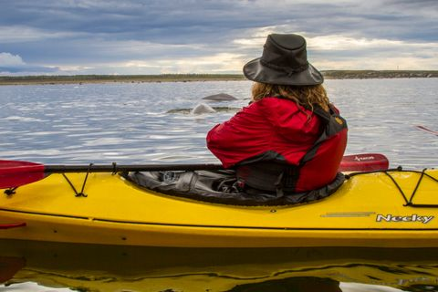Kayaking with thousands of Beluga Whales in the Churchill River.