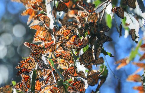 There are two places to marvel at migrating butterflies off the Highway 1 Discovery Route.