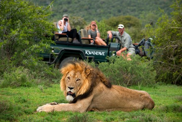 Kwandwe Lion Viewing