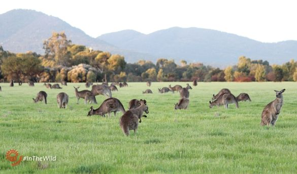 a big mob of Eastern Grey Kangaroos at dusk