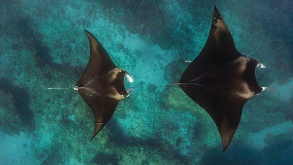 Manta rays at Ningaloo Reef